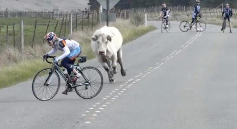 Cycling Fun cow chasing cyclist